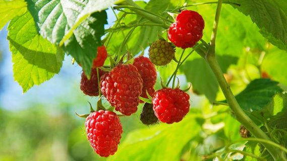 PYO raspberries