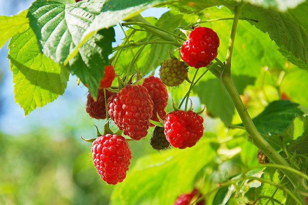 Raspberries 2