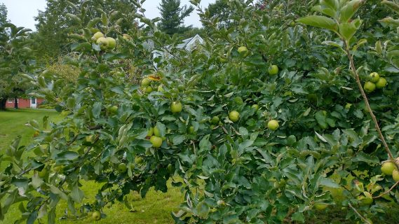 Opening 9/4/2021 for PYO early apples